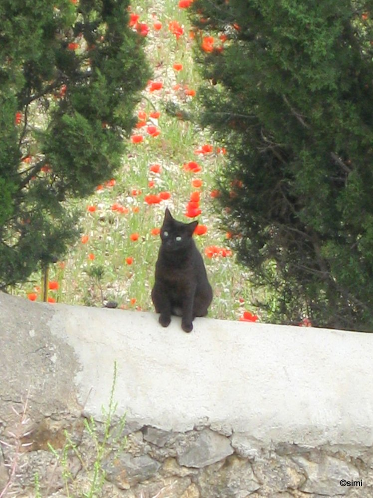 Schwarze Katze vor Klatschmohn