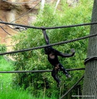 Übermütige Jungtiere im Schimpansengehege