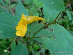 Blüte Echtes Springkraut